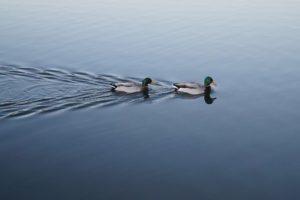 ducks-in-row